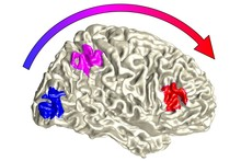 Illustration of sensory processing in the brain: at the lowest level, sensory input is processed separately (blue) and then is automatically integrated in the parietal lobe (pink). Flexibility only takes place at a higher level of processing located in the frontal lobe (red). Photo: Bielefeld University, C. Kayser